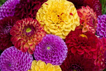 Dahlias in Flower