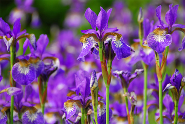 Irises in Flower