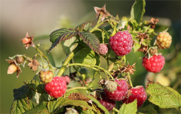 Rasberries ready to pick