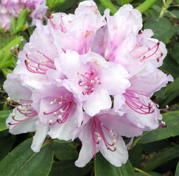 Rhododendron in flower