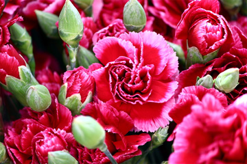 Carnations in Bloom