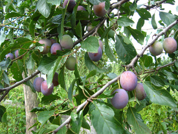 Plums Almost Ripe