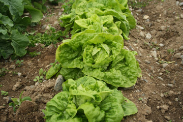 Mature Lettuce ready to take out